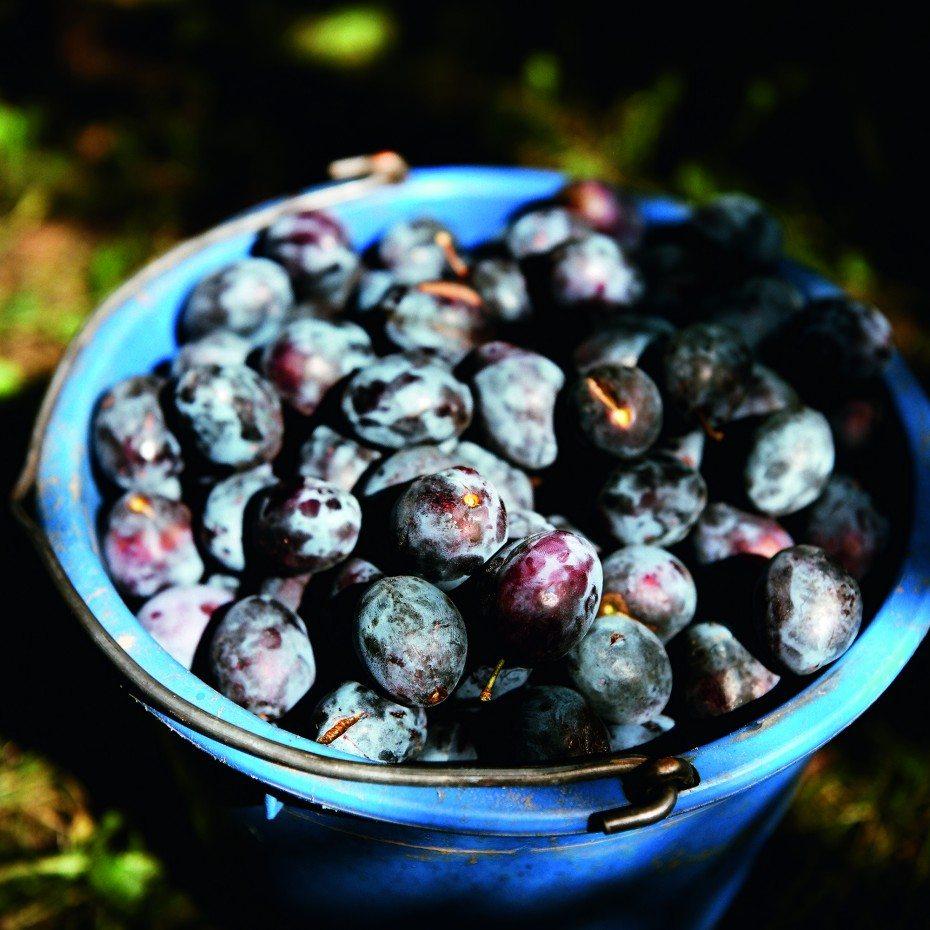 bucket of plums