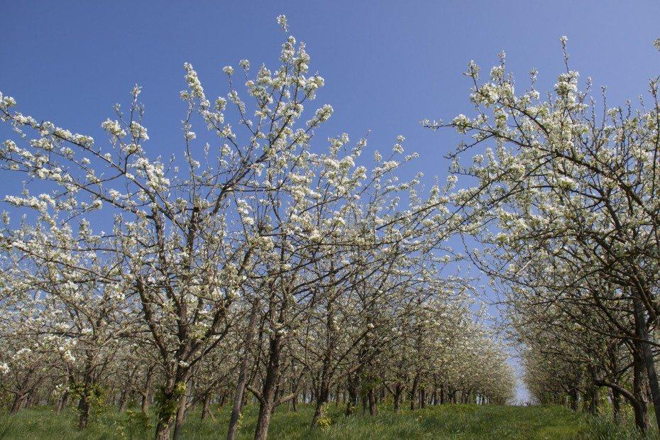 Die Blüte der Apfelbäume