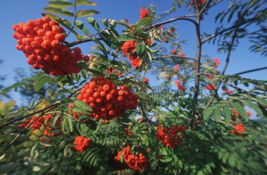 wild rawn berries