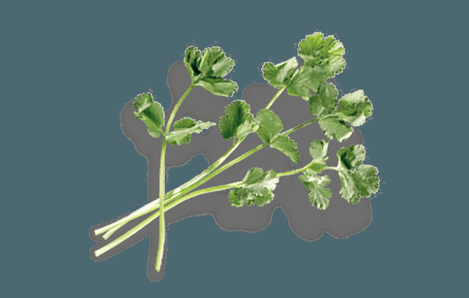Coriander leaves, HandsOn, Gin, Goelles, Riegersburg, Austria, Pot Still